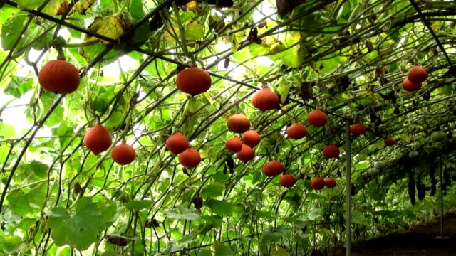 stockvideo's en b-roll-footage met flying pumpkins or pumpkins grown suspended above the ground from a greenhouse structure ripen in naganuma on japan's northernmost main island of... - rijp voedselbereiding