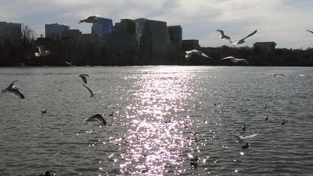 flying seagulls over potomac river and the skyline of rosslyn in arlington county, virginia, usa. - arlington virginia stock videos & royalty-free footage