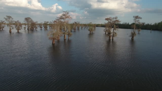 flying south in swamp by cypress trees - drone aerial 4k everglades, swamp bayou with wildlife alligator nesting ibis, anhinga, cormorant, snowy egret, spoonbill, blue heron, eagle, hawk, cypress tree 4k nature/wildlife/weather - bayou lafourche stock-videos und b-roll-filmmaterial