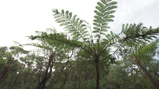 flying spider-monkey tree fern, okinawa, japan - tree fern stock videos & royalty-free footage