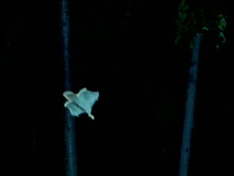 Flying Squirrel glides from camera, USA