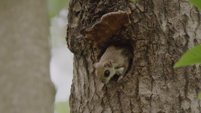 vidéos et rushes de flying squirrel jumping out of its drey in the dmz (demilitarized zone between south and north korea), goseong-gun - tronc d'arbre
