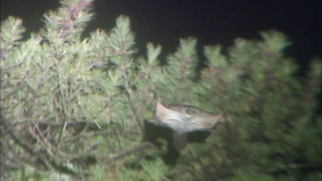 a flying squirrel the endemic mammalian of japan glides in the night sky by spreading patagium between forefoot and hind - endemic stock videos and b-roll footage