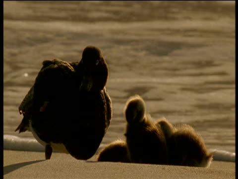 Flying steamer duck sleeps whilst ducklings preen on beach, Falkland islands