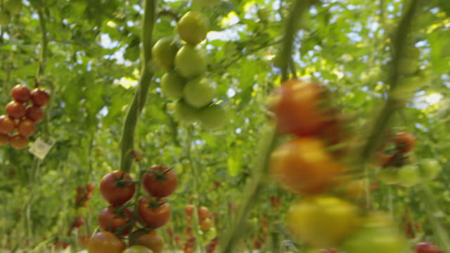 4k - flying through a tomato greenhouse - tomato stock videos & royalty-free footage