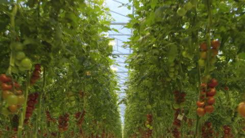 4k - flying through a tomato greenhouse - organic farm stock videos & royalty-free footage