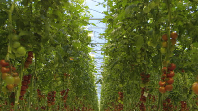 vídeos de stock e filmes b-roll de 4k - flying through a tomato greenhouse - maduro