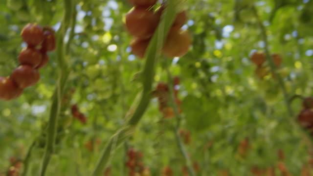 vidéos et rushes de 4k - voler à travers une serre de tomates - travelling sur chariot