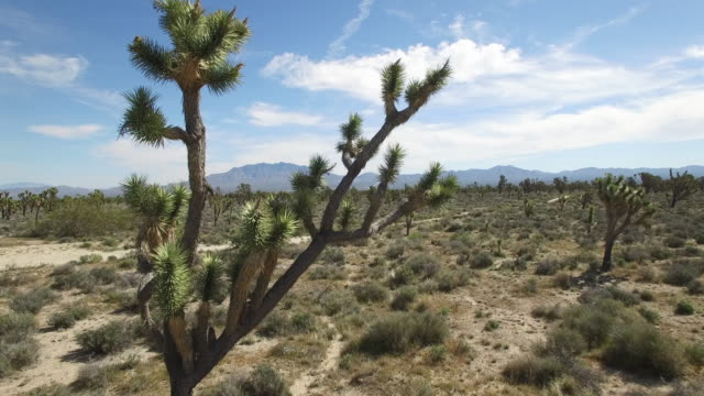 flying through branch of joshua tree reveal - drone aerial video 4k joshua tree national forest, desert barren land, no people with remote location cactus california desert, mojave desert, with extreme terrain. video 4k nature/wildlife/weather - extreme weather stock videos & royalty-free footage