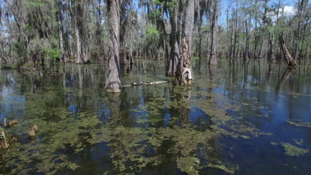 vídeos de stock, filmes e b-roll de flying to turtles on a log - drone aerial 4k everglades, swamp bayou with wildlife alligator nesting ibis, anhinga, cormorant, snowy egret, spoonbill, blue heron, eagle, hawk, cypress tree work 4k nature/wildlife/weather drone aerial video - parque nacional de everglades