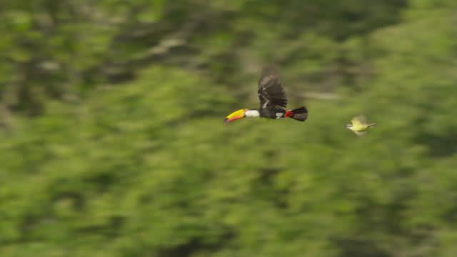 vídeos de stock, filmes e b-roll de flying toco toucan (ramphastos toco) gets mobbed by great kiskadee (pitangus sulphuratus). - tucano toco