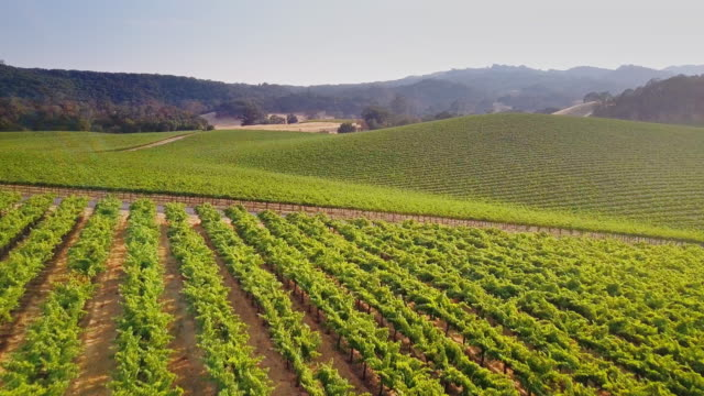 flyover of huge northern california vineyard - vine plant stock videos & royalty-free footage
