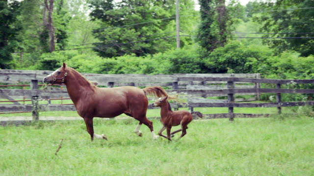vídeos de stock e filmes b-roll de foal and mare run slow motion - família animal