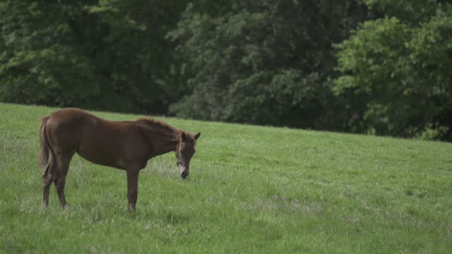 foal eating grass - tierfarbe stock-videos und b-roll-filmmaterial