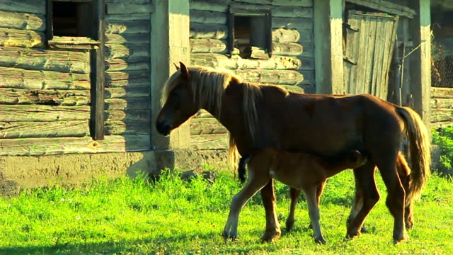 foal feeding - domestic animals stock videos & royalty-free footage