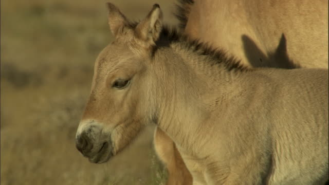 foal of przewalski's horses on steppe, kalamaili nature reserve, xinjiang, china - przewalskihäst bildbanksvideor och videomaterial från bakom kulisserna