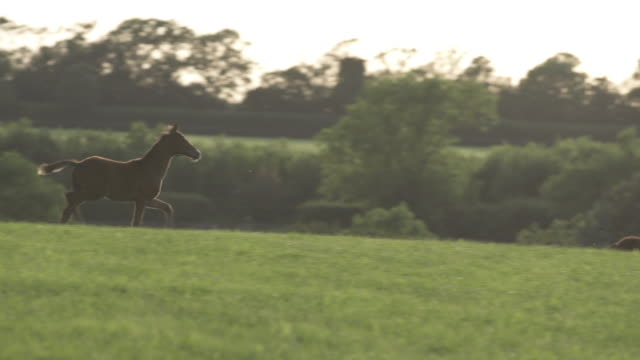 foal running in field - tierfarbe stock-videos und b-roll-filmmaterial