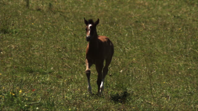 slomo ms foal trotting around field and joining white horse - somerset england stock videos & royalty-free footage