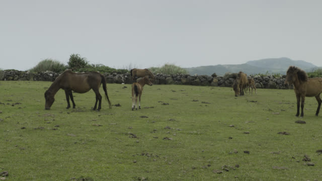 Foal walks around adult horses (Equus ferus caballus) as they graze. Japan.