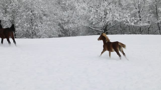 Foals are running on the snowy meadow in cold winter