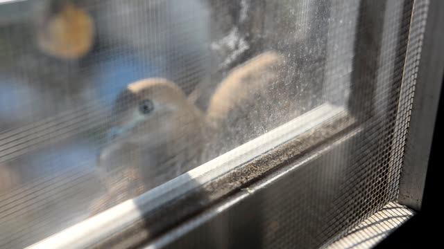 messa a fuoco :  madre uccello in un nido con un bordo di sporco finestra. - gabbia per gli uccelli video stock e b–roll