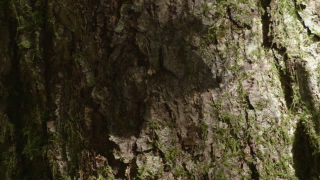 focus on the shadows of leaves being moved by an out-of-vision person projected onto a tree trunk, new south wales, australia. - tree trunk stock videos & royalty-free footage