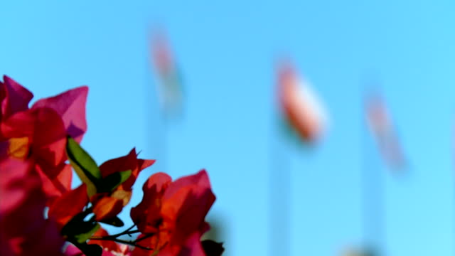 focus pull from flowers to omani flag blowing in wind / muscat, oman - oman flag stock videos and b-roll footage