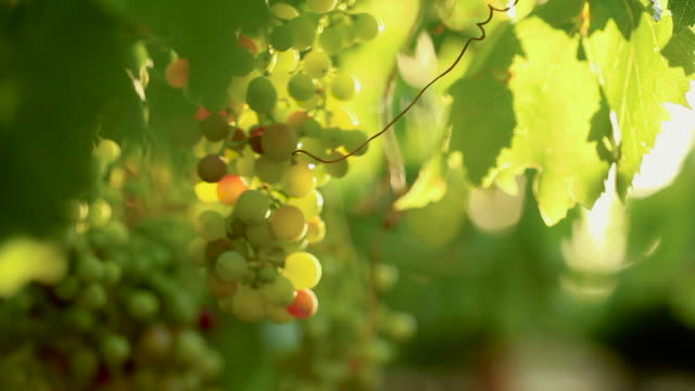 focus pull of a bunch of grapes hanging from a vine - paarl stock videos & royalty-free footage