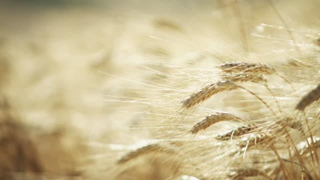 focus pull through a field of ripe, golden wheat. - 小麦点の映像素材/bロール