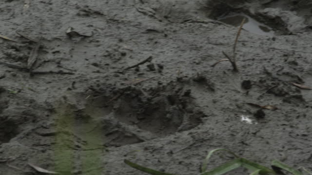 focus shift from blades of grass to paw prints in mud, kamchatka, 2009 - paw print stock videos & royalty-free footage
