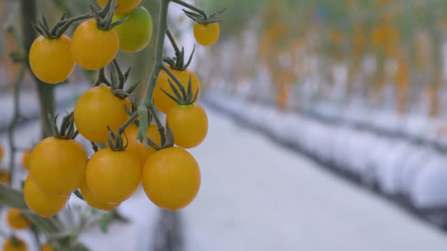 focus shift shot of yellow tomato greenhouse - antioxidant stock videos & royalty-free footage