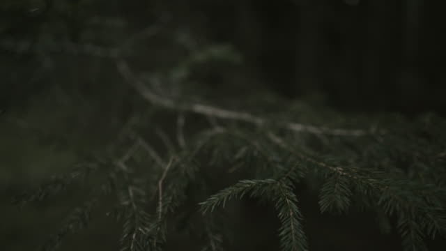 focused view of needles of pine tree, sharp needles moving in the wind. - cedar stock videos & royalty-free footage