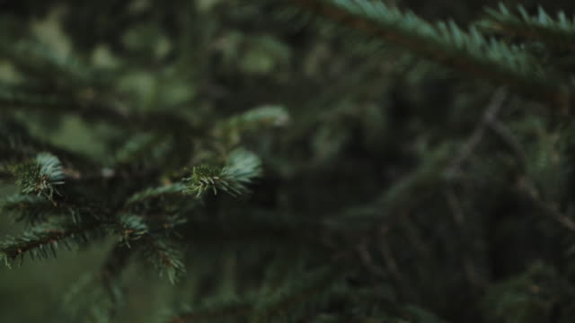 focused view of needles of pine tree, sharp needles moving in the wind. - forest stock videos & royalty-free footage