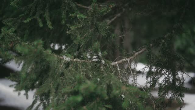 vista focalizzata di aghi di pino, aghi affilati che si muovono nel vento - ago parte della pianta video stock e b–roll