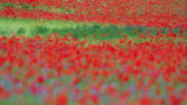 stockvideo's en b-roll-footage met focusing field blooming with poppies at summer - scherpte verlegging