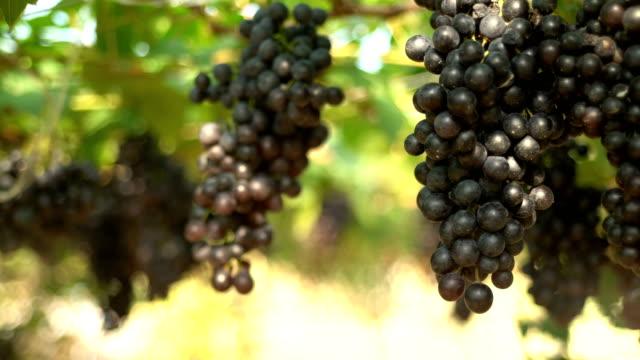 vídeos de stock e filmes b-roll de 4k focusing:white grapes in vineyard - ramo parte de uma planta