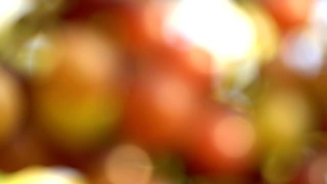 4K Focusing:White Grapes In Vineyard