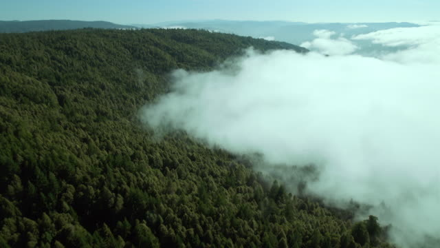 Fog from the west rolls across the redwood forests of Humboldt County, California, aerial view.