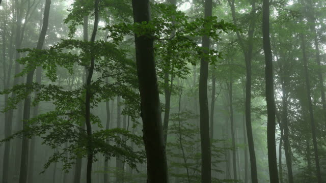 Fog in beech forest, near Saarburg, Rhineland-Palatinate, Germany, Europe