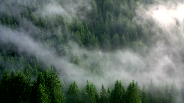fog in the forest - fir tree stock videos and b-roll footage
