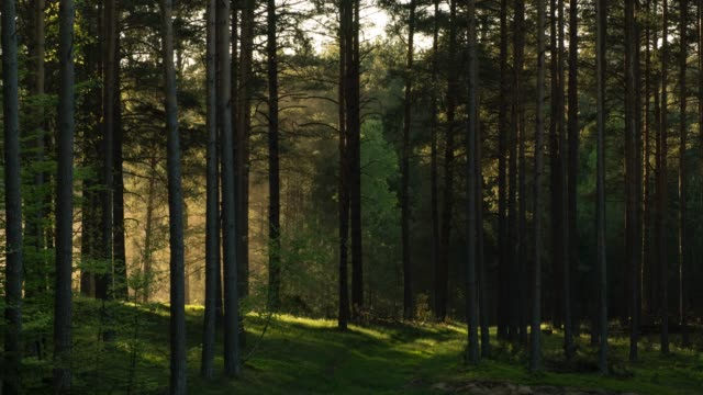stockvideo's en b-roll-footage met mist in het bos - naaldboom