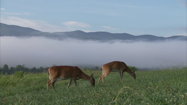 fog rings a grassy meadow where deer graze in the appalachian mountains. - grasen stock-videos und b-roll-filmmaterial
