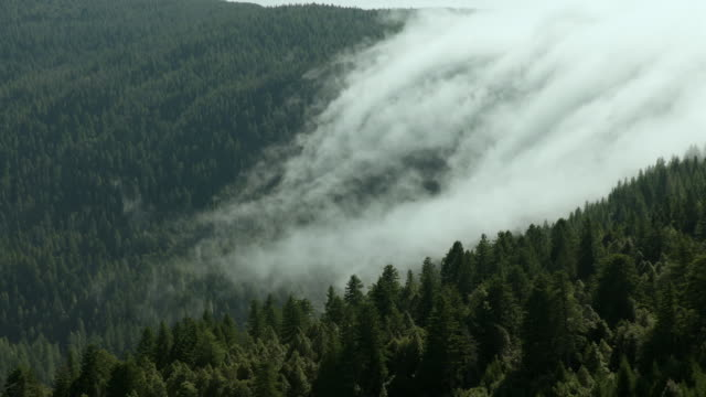 Fog rolls over a mountain ridge into a forest of conifers in Northern California.