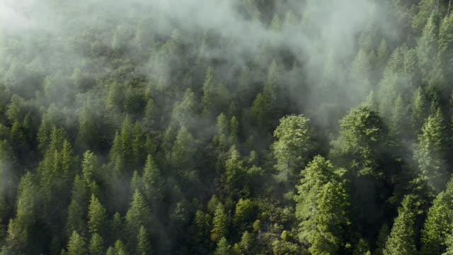 vídeos de stock e filmes b-roll de fog rolls over dense evergreen forest. - coniferous