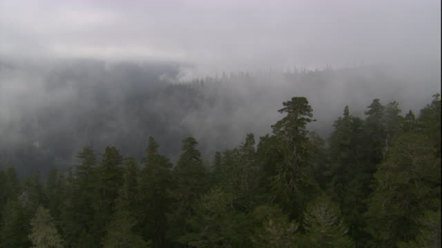 Fog settles over a redwood forest. Available in HD.