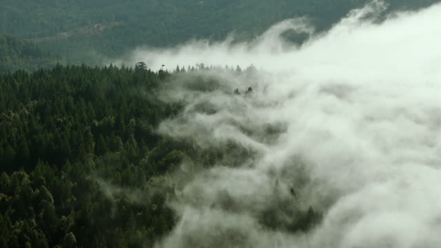 fog spreads through the treetops of an evergreen forest in humboldt county, california. - temperate rainforest stock videos & royalty-free footage