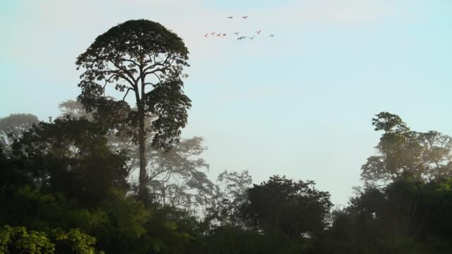 vídeos de stock, filmes e b-roll de foggy rainforest canopy, macaws flying - tambopata