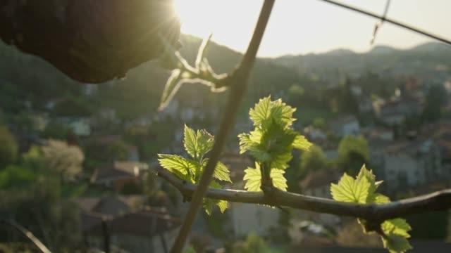 foglia di vite, vigneto, close up, natura, primavera, raggio di sole - vine stock videos & royalty-free footage