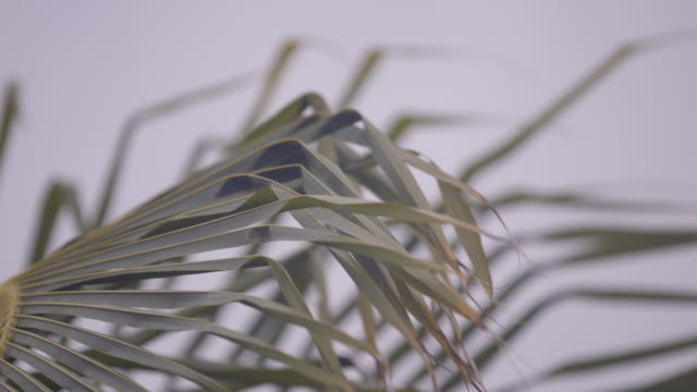 vidéos et rushes de cu folded palm leaves in gentle breeze, jamaica - imperfection