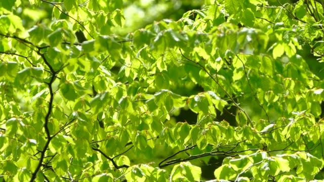 vidéos et rushes de foliage of a beech tree - arbre à feuilles caduques